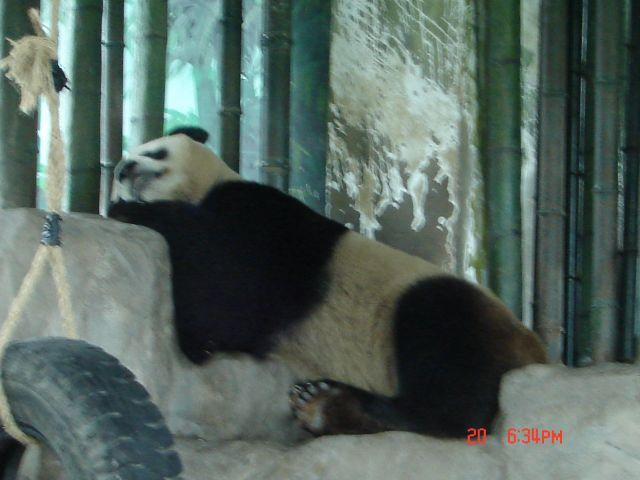 Zdjęcia: Szanghaj, Szanghaj ZOO, Panda Wielka 3, CHINY