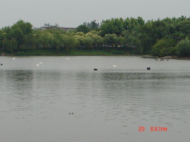 Zdjęcia: Szanghaj, Szanghaj ZOO, Biale i Czarne labedzie na wodzie -super widok, CHINY
