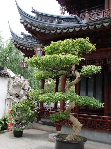 Zdjęcia: Szanghaj, Szanghaj , Chinskie Bonsai ?, CHINY