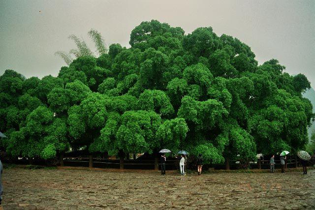 Zdjęcia: okolice Jangshuo, Guangxi, Figowiec Bengalski, CHINY
