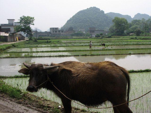 Zdjęcia: Fuli, Guangxi, podstawa Chińskiego rolnictwa, CHINY
