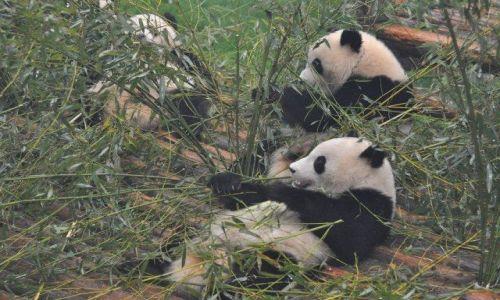 Zdjęcie CHINY / Syczuan / Chengdu / Wielkie zarcie
