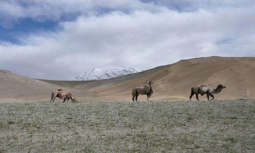 Zdjecie CHINY / Karakorum Highway / Muztagh Ata / wielbłądy pod Muztagh Ata