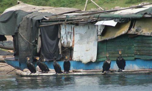 Zdjęcie CHINY / Guangxi / Yangsuo / kormorany - chińskie wędki