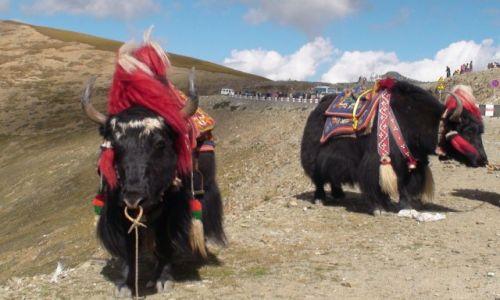 Zdjecie CHINY / Tybet / Jeziori Yamdrok / Zwierzęta Tybetu