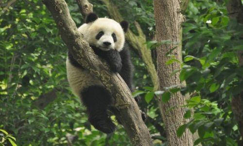 Zdjecie CHINY / Chengdu / Chengdu / panda