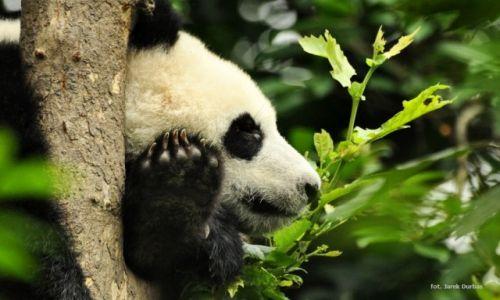 Zdjecie CHINY / Chengdu / Rezerwat pand / Panda