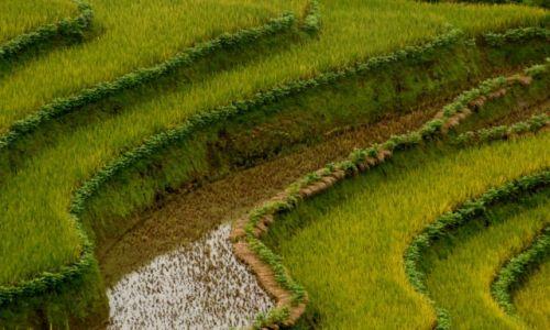 Zdjecie CHINY / Yunnan / Xinjie / Tarasy ryżowe - żółty ryż