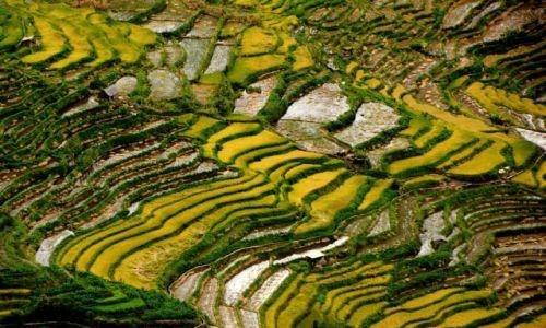 Zdjecie CHINY / Yunnan / Xinjie, tarasy ryżowe / Tarasy ryżowe - żółty ryż