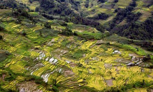 Zdjecie CHINY / Yunnan / Xinjie / Tarasy ryżowe -ryż  żółty i zielony