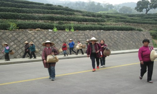 Zdjęcie CHINY / - / HANGZHOU / Fajrant na plantacji herbaty