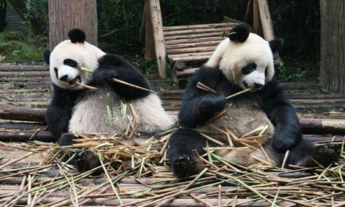 Zdjecie CHINY / brak / Chengdu / Panda Wielka