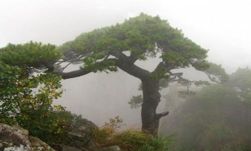 Zdjęcie CHINY / prowincja Anhui / Huang Shan / sosny we mgle