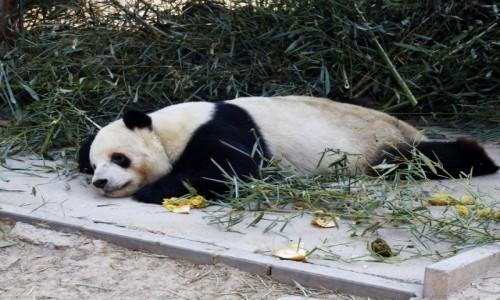 CHINY / Pekin / ZOO / Panda wielka
