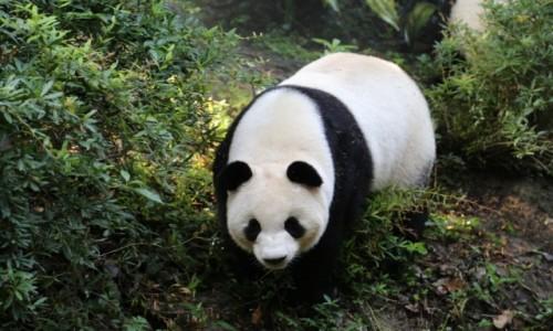 CHINY / - / Chengdu / Panda wielka