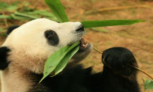 Zdjęcie CHINY / brak / HongKong / Panda