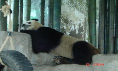 Zdjecie CHINY / Szanghaj ZOO / Szanghaj / Panda Wielka 3