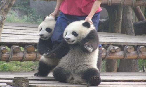 CHINY / w okolicach Chengdu / kolonia rozrodu pand wielkich / dość tego! nicponie