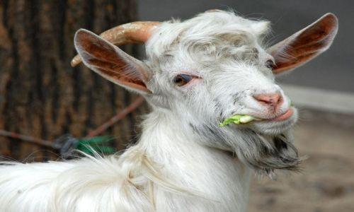 CHINY / Shanxii / Xian / koza - moze i nic niezwyklego gdyby nie przywiazana do drzewa w centrum 8mln miasta