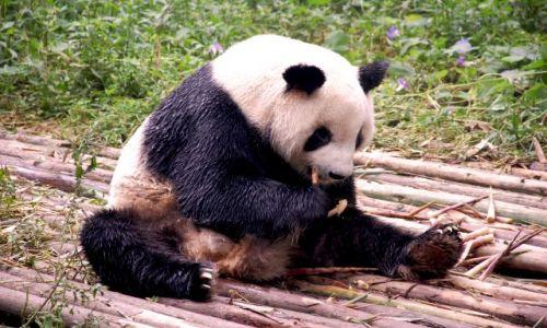 Zdjecie CHINY / Syczuan / Wolong/Chengdu / Strasznie leniwe zwierzątko :)