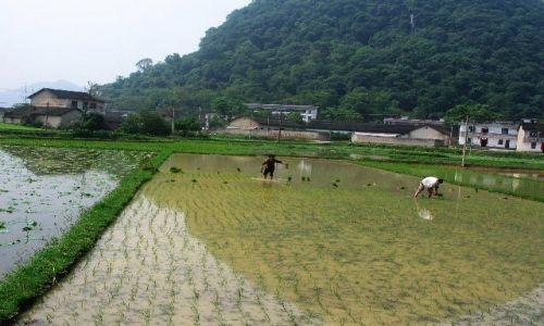 CHINY / Guangxi / Fuli / sadzenie ryżu