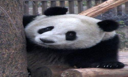 Zdjecie CHINY / Chendu / ośrodek hodowli Pandy / pluszaczek3