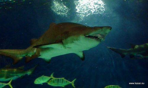 CHINY / - / Szanghaj / Szanghaj - oceanarium - rekin