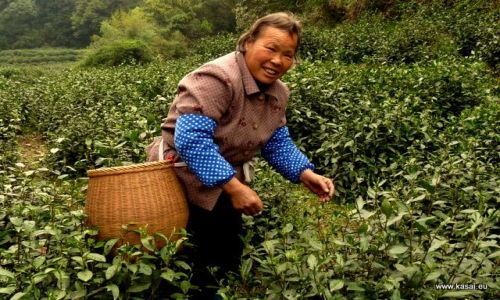 CHINY / - / Hangzhou / Hangzhou - zbiór herbaty