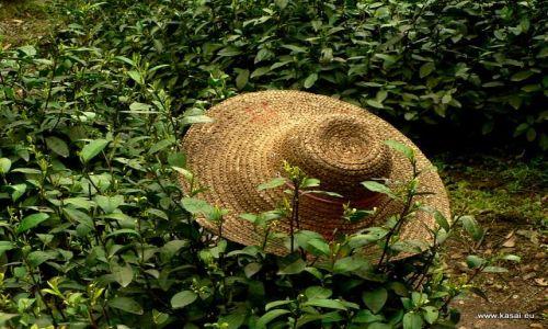 CHINY / - / Hangzhou / Hangzhou - pola herbaciane