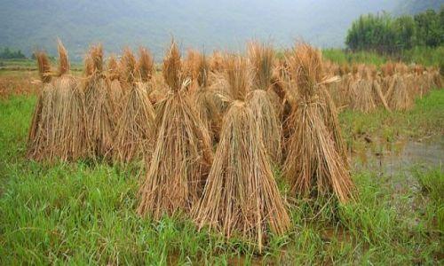Zdjęcie CHINY / Guizhou / chińska wieś / słoma ryżowa