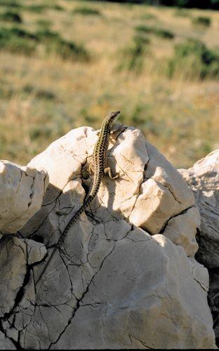 Zdjęcia: Pag, Pag, Też mam jaszczurkę, a co..., CHORWACJA