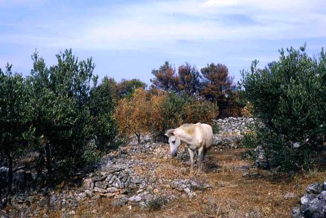 Zdj�cia: wyspa Hvar, Dalmacja, popas w gaju, CHORWACJA