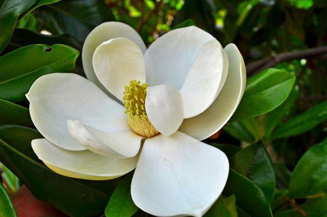 Zdjęcia: Orebic, Kwiat fikusa, CHORWACJA