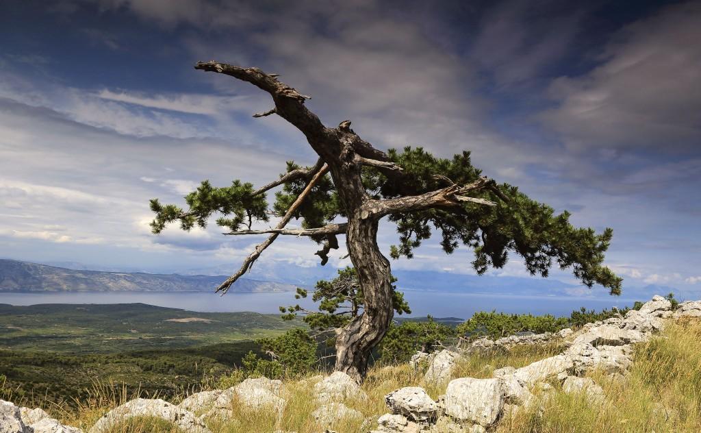 Zdjęcia: Hvar, Środkowej Dalmacji -Hvar,  Wśród drzew piniowych. ., CHORWACJA