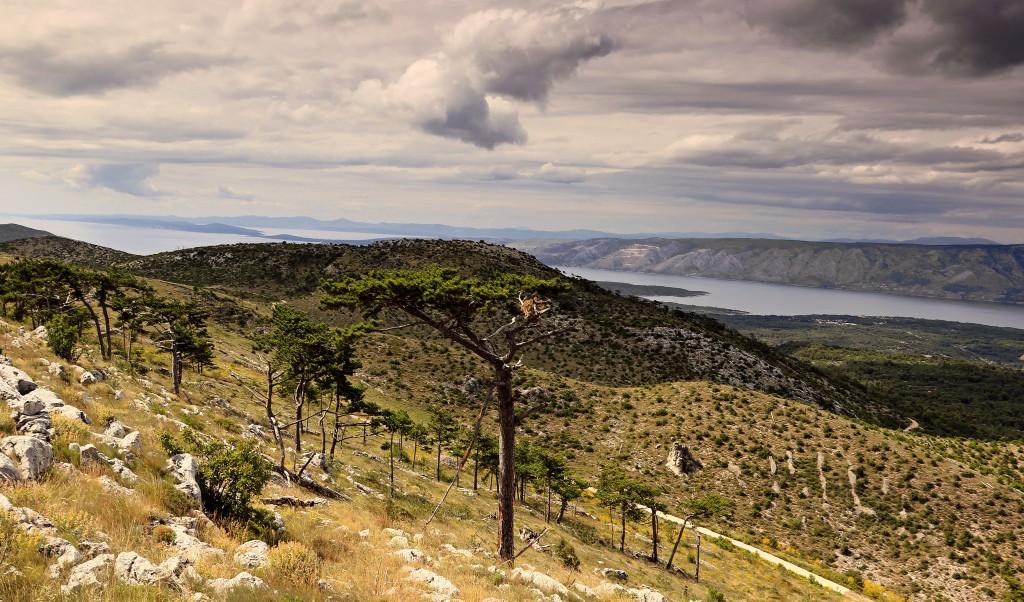 Zdjęcia: góra św. Nikola, Środkowej Dalmacji -Hvar, Drzewa piniowe , CHORWACJA