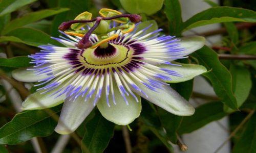 Zdjecie CHORWACJA / Dalmacja / Makarska Riviera / passiflora