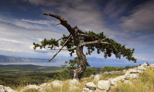 Zdjecie CHORWACJA / Środkowej Dalmacji -Hvar / Hvar /  Wśród drzew piniowych. .