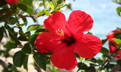 Zdjęcie CHORWACJA / Dalmacja / Bol / Czerwony kwiat