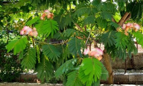 Zdjęcie CHORWACJA / Dalmacja / Biokovo - wioska Bast / rzadkie mimozy...