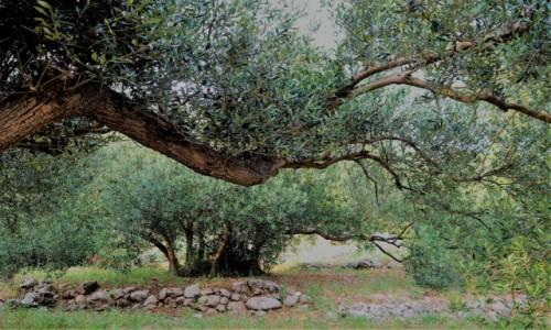 Zdjecie CHORWACJA / Riviera Makarska / Strnj / drzewa oliwne przetrwały...