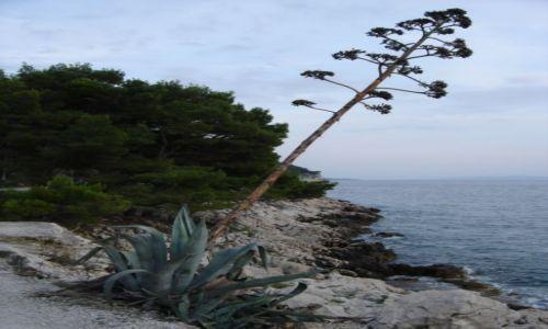 Zdjecie CHORWACJA / Dalmacja / Riwiera Makarska / Kwiat agawy