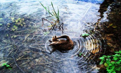 Zdjecie CHORWACJA / Plitwickie Jeziora / na jednym z jeziorek / Wirowy taniec kaczora....