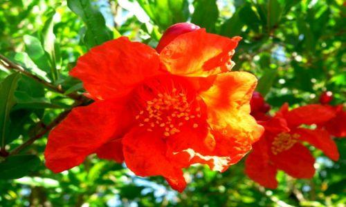 Zdjecie CHORWACJA / okolice Biogradu / w ogrodzie / Kwiat granatu