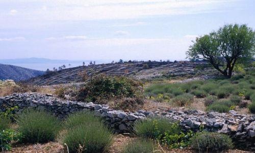 CHORWACJA / Dalmacja / wyspa Hvar / pole lawendy