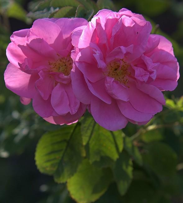 Zdjęcia: Agros, Pitsilia, Róża damasceńska, CYPR