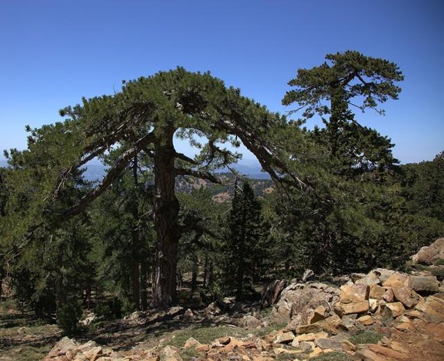 Zdjęcia: Góry Troodos, Nikozja, Sosna czarna, CYPR