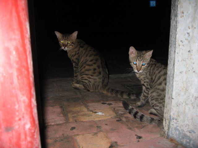 Zdjęcia: Pafos, Pafos, Cypryjskie kotki, CYPR
