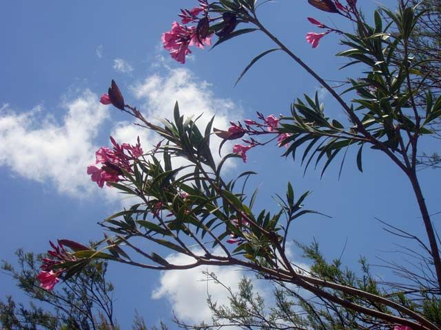 Zdjęcia: Okolice Pafos, Kwiatuszki, CYPR
