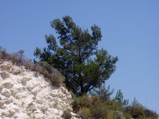 Zdjęcia: Okolice Paphos, Drzewko, CYPR