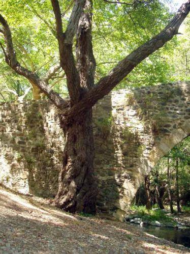 Zdjęcia: Okolice Paphos, Pokrecone drzewko, CYPR